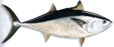 Jenis Ikan Laut Fishmeal